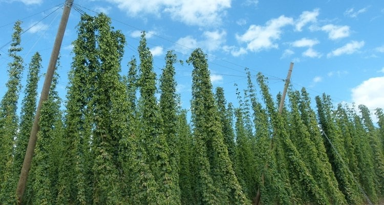 Hops and agricultural wire